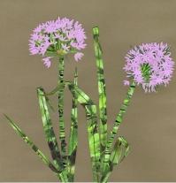 Allium, collage